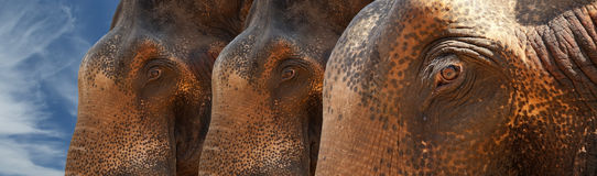 Face of Asian Elephant, or Indian Royalty Free Stock Photos