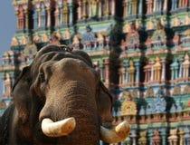 Face of Asian Elephant, or Indian, Kerala Stock Photos