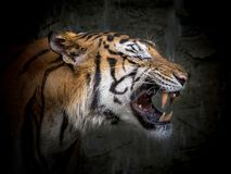 The face of Asian tiger. The face of Asian tigers are roaring royalty free stock photography