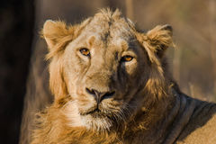 Face of Asiatic Lion Stock Images