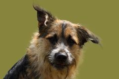 Face of an attentive shepherd dog with bright look on green studio background. A face of an attentive shepherd dog with bright look on green studio background stock photography