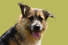 Face of an attentive shepherd dog with bright look on green studio background. A face of an attentive shepherd dog with bright look on green studio background royalty free stock photos