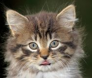 Face of baby cat Stock Photography