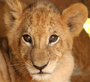 Face baby lion. Face of a baby lion, very cute gaze stock image