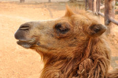 Face of bactrian camel Stock Images