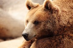 The face of a bear Royalty Free Stock Images
