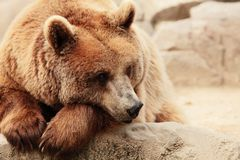 The face of a bear. The face of wild bear Stock Photography