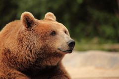 The face of a bear Stock Image