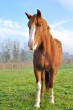 Face of a beautiful horse Royalty Free Stock Image