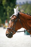 Face of a beautiful purebred racehorse on dressage training Stock Image