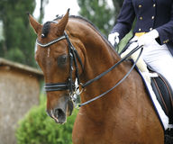Face of a beautiful purebred racehorse on dressage training Royalty Free Stock Images