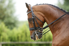 Face of a beautiful purebred racehorse on dressage training outd. Head shot of a thoroughbred racehorse with beautiful trappings Stock Photo