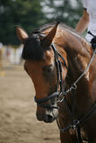 Face of a beautiful purebred racehorse on the jumping competitio Royalty Free Stock Images
