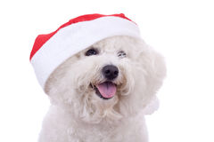 Face of a bichon with santa cap. Face of a bichon frise with santa cap over white Royalty Free Stock Photography