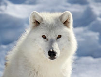 Face of big arctic wolf. Portrait of big arctic wolf during winter Stock Images
