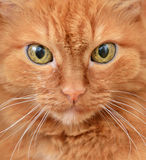 Face the big red cat. With a serious expression closeup Royalty Free Stock Photos