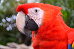 Face of big red parrot Stock Photography