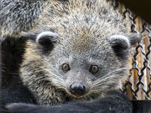 Face of binturong (Arctictis binturong) Stock Images