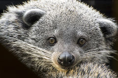 Face of binturong (Arctictis binturong) Stock Photos