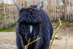 The face of a black alpaca in closeup, alpaca with bare nose syndrome, Animal with Alopecia causing baldness on the nose. The face of a black alpaca in closeup stock images