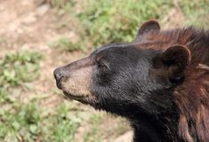 Face of black bear Stock Photos
