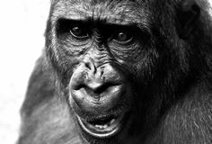 Face, Black, Black And White, Great Ape Royalty Free Stock Photography