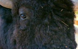 Face black buffalo. Muzzle black buffalo closeup. Photo format jpq stock photography