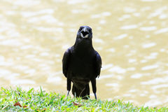 Face of black crow bird open bill mouth Royalty Free Stock Photography