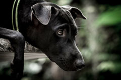Face of black dog that concentrate to watching somethin Stock Photos