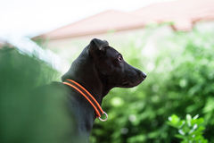 Face of black dog that concentrate to watching somethin Royalty Free Stock Photography