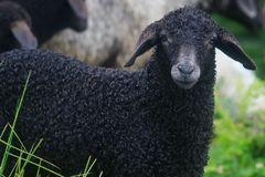 Face of a black sheep ewe looking directly at camera in the Spring. Face of a black sheep ewe looking directly at camera in the Spring royalty free stock photos