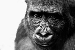 Face, Black And White, Great Ape, Mammal Royalty Free Stock Photo