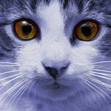 Face of the blue cat. A blue cat is staring at you Royalty Free Stock Images