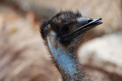Face of a Blue Emu with Black Feathers Royalty Free Stock Image