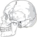 Face, Bone, Line Art, Nose royalty free stock photo