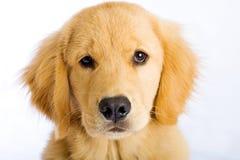 Face bonito do filhote de cachorro imagens de stock