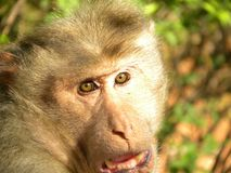 Face of Bonnet macaque, Macaca radiata monkey. Face of Bonnet macaque, Macaca radiata or Zati monkey with his mouth open and eyes looking at camera stock image