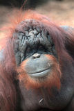 Face of bornean orangutan Stock Photography