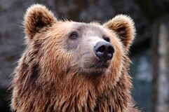 Face of brown bear Stock Image