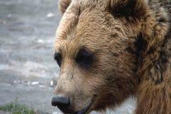 Face of Brown Bear Stock Photos