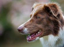 Face of brown border collie Stock Image