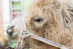 Face of Brown Camel Royalty Free Stock Photos