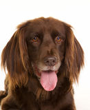 Face of brown longhaired pointer dog Royalty Free Stock Photo