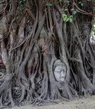Face of Buddha in a Banyan Tree. The face of Buddha entwined in a Banyan tree in Ayutthaya Thailand. UNESCO world heritage site royalty free stock photography