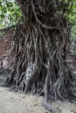 Face of Buddha in a Banyan Tree. The face of Buddha entwined in a Banyan tree in Ayutthaya Thailand. UNESCO world heritage site Royalty Free Stock Photos