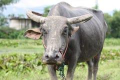 Face of  buffalo in Thailand Stock Photos