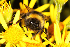Face of a Bumble Bee. Royalty Free Stock Images