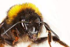 Face of a bumblebee Royalty Free Stock Images