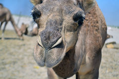 Face of Camel Royalty Free Stock Images