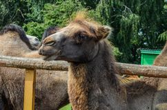 The face of a camel. Close-up of protruding hair on the head Royalty Free Stock Photo